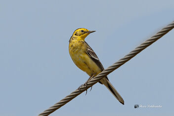 An Yellow Wagtail on a Wire - Kostenloses image #476001
