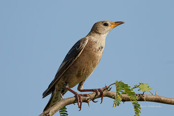 A Juvenile Rosy Starling getting a quiet moment - Kostenloses image #476361