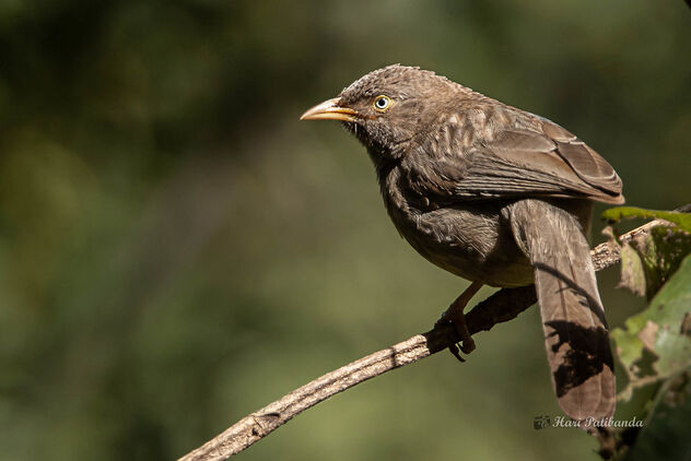 A Jungle Babbler catching the sun through a gap in the canopy - Free image #476541