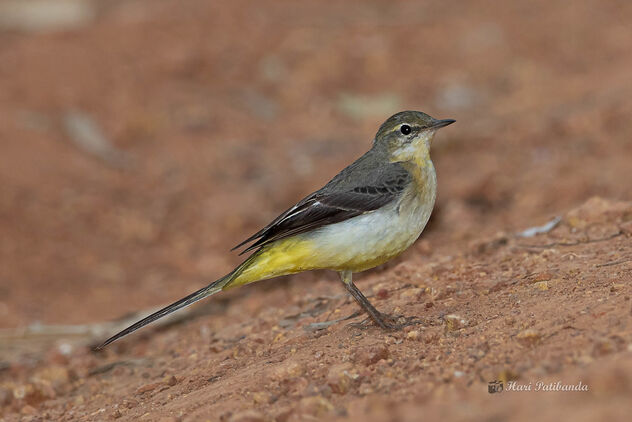 A Gray Wagtail hopping on the ground looking for insects - Free image #476571