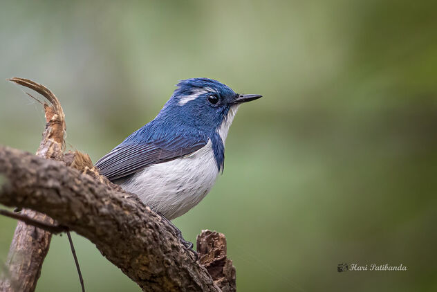 A Portrait of an Ultramarine Flycatcher - Free image #476621