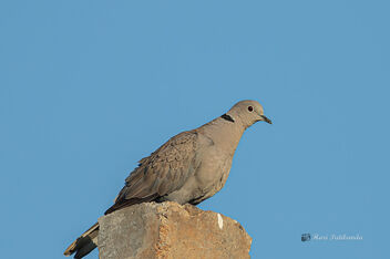 An Eurasian Collared Dove - Energy in the Morning - Kostenloses image #477151