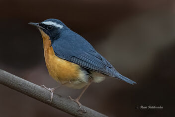A Rare Indian Blue Robin in the dry bush - Free image #477631