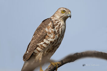 A Cautious Shirka or Little Banded Goshawk - Free image #477661