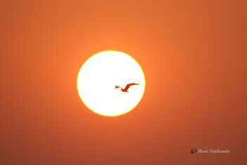 A Rare Pied Harrier flying towards the sun - image #477791 gratis