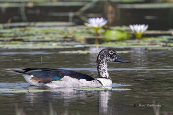 An Unusual Find on a roadside lake - a Knob Billed Duck - Kostenloses image #478391