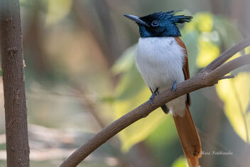 A Paradise Flycatcher taking a break in the shade - image gratuit #478741