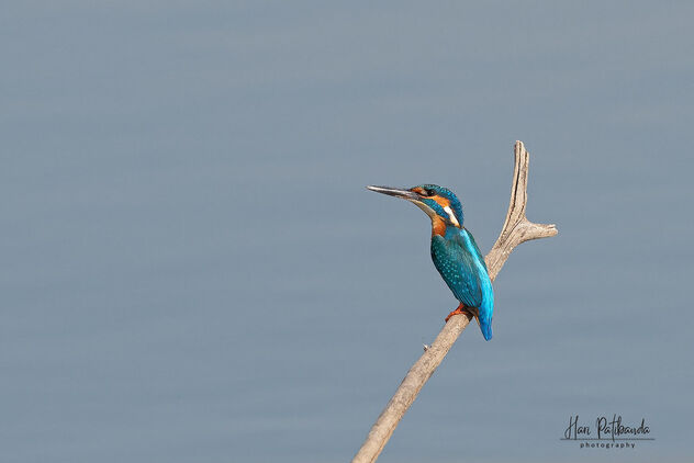 A Common Kingfisher in the lake - Kostenloses image #479751