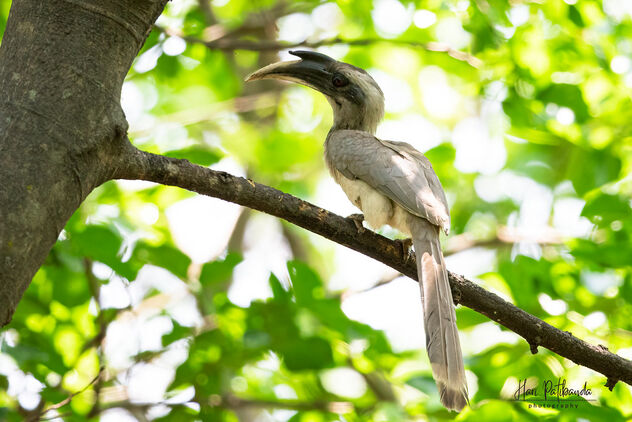 An Indian Grey Hornbill near a fruit tree - Kostenloses image #479821